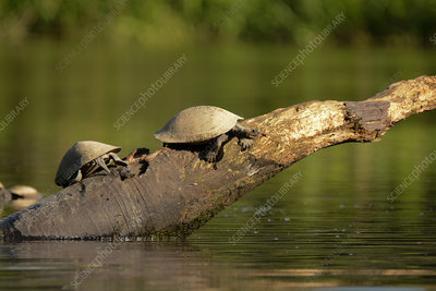 Giant Amazon River Turtles
