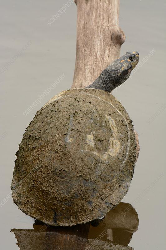 Giant Amazon River Turtle