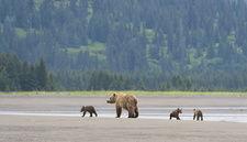 Brown Bear Female With Cubs