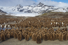 King Penguin Chicks in Colony