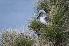 Grey-Headed Albatross on Nest
