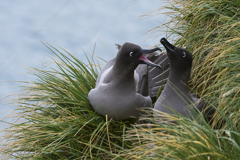 Light-mantled Sooty Albatross at Nest Site