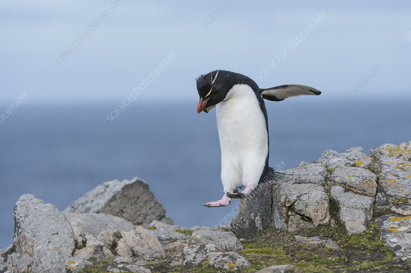 Rockhopper Penguin Hopping on Rocks