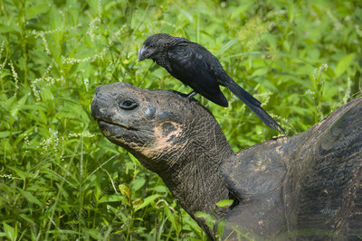 Smooth-Billed Ani & Giant Tortoise