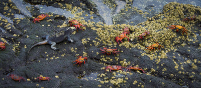 Marine Iguana & Sally lightfoot Crabs