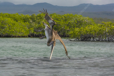 Brown Pelican Diving, Black Turtle Cove