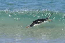 Gentoo Penguin Ashore from Ocean Surf