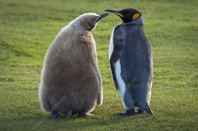 King Penguin with Chick, begging for food