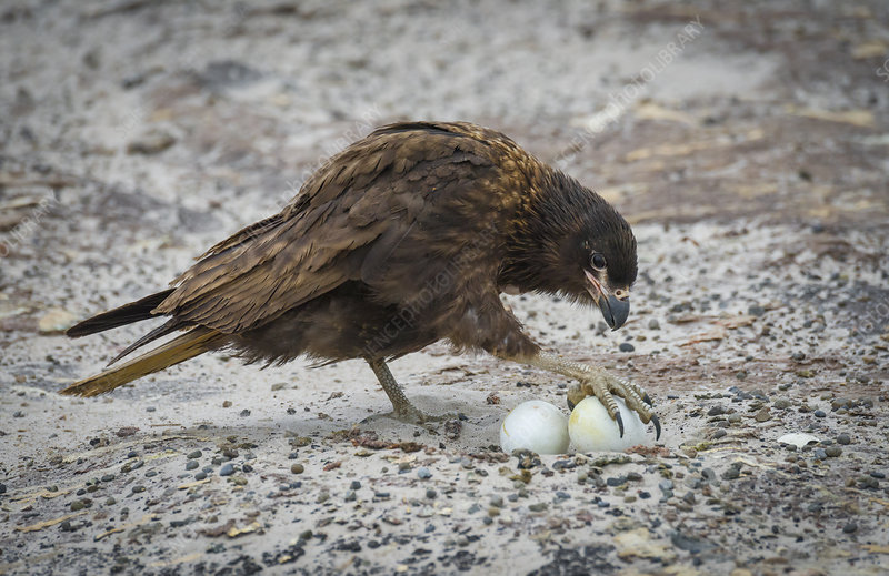 Striated Caracara Taking Gentoo Penguin Egg