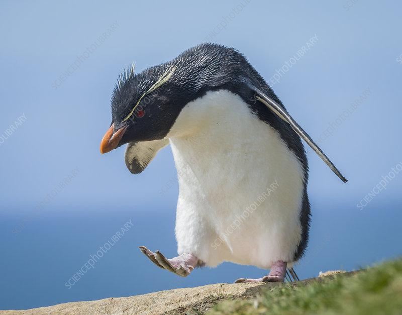 Rockhopper Penguin Marching Across Rocks