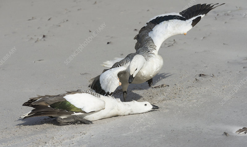 Male Upland Geese Fighting
