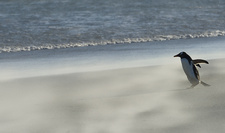 Gentoo Penguin on Beach in Wind Storm