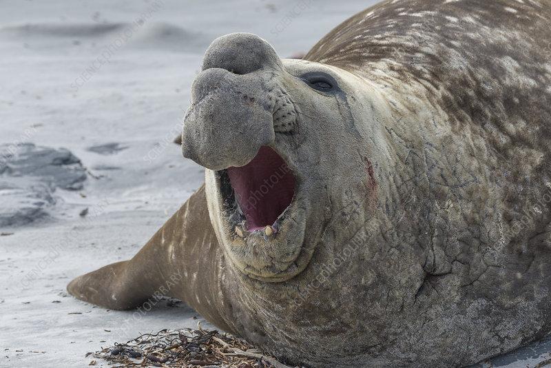 Male Southern Elephant Seal