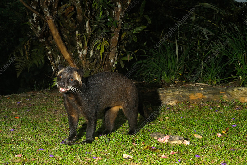 Male Masked Palm Civet