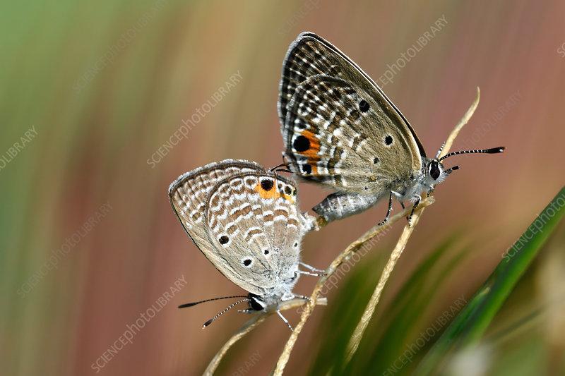 Cycad Blue butterflies