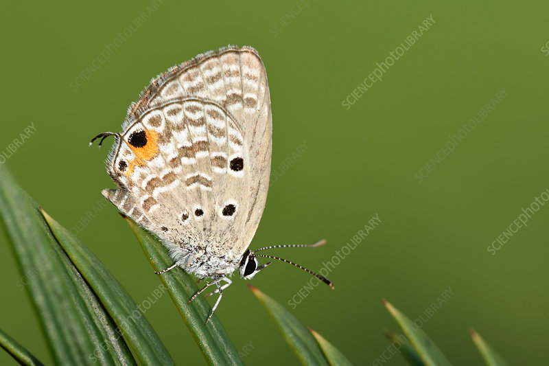 Cycad Blue butterfly