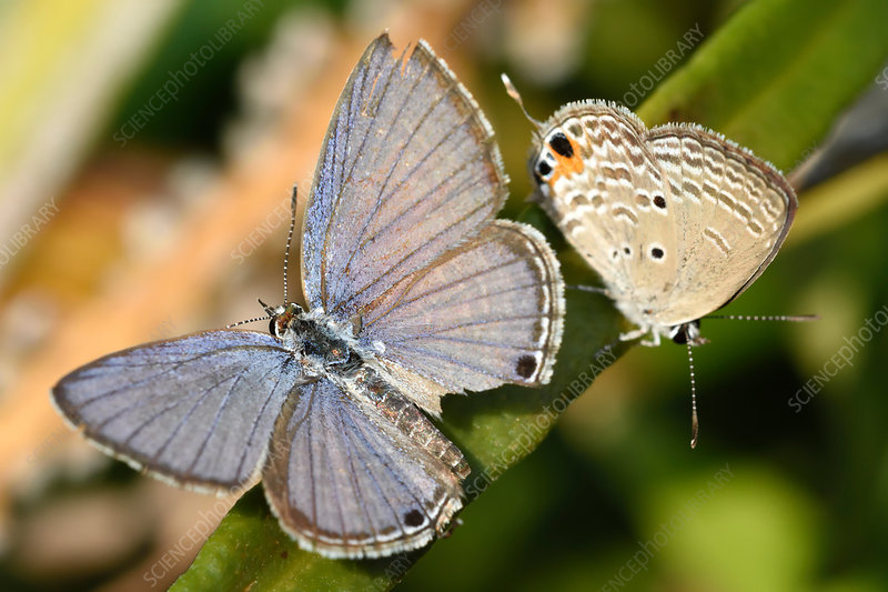 Cycad Blue butterflies