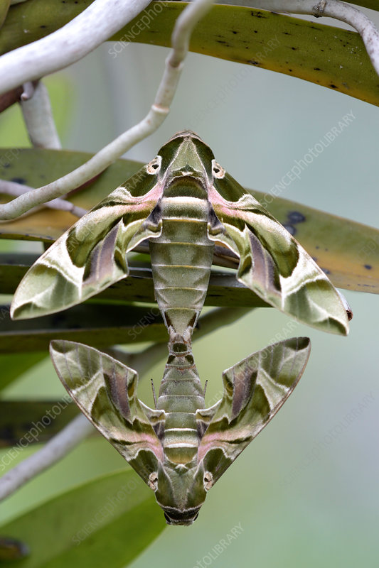 Oleander Hawkmoths Mating