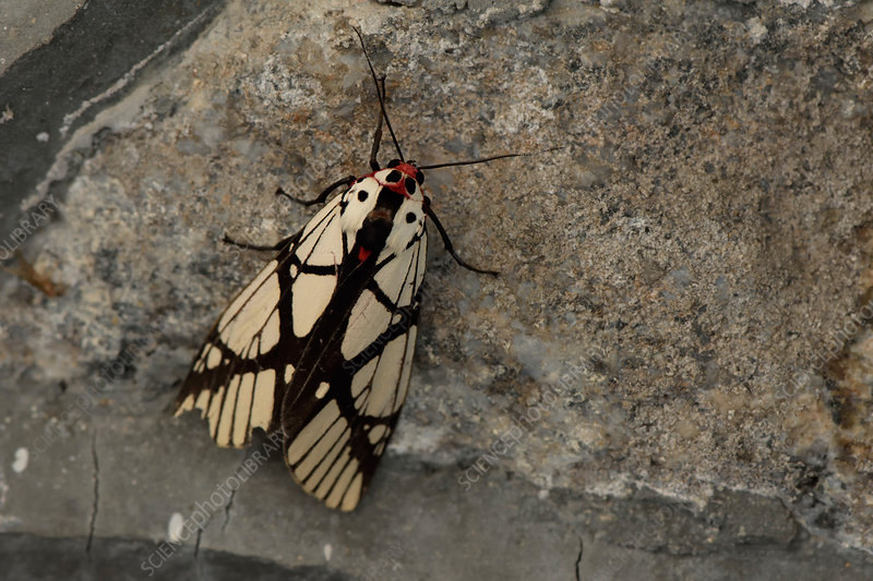 Malaysian Moth