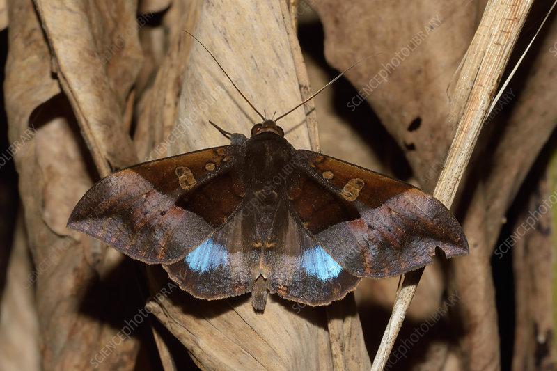 Tropical Noctuid Moth