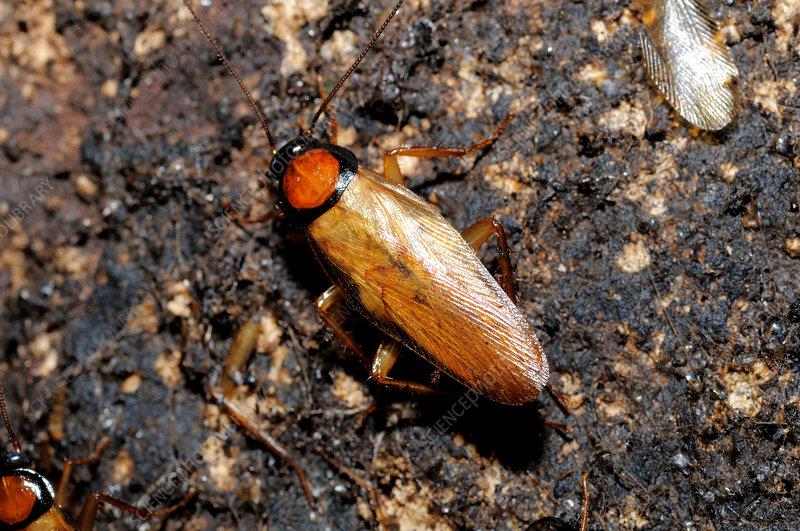 Golden Cave Cockroach