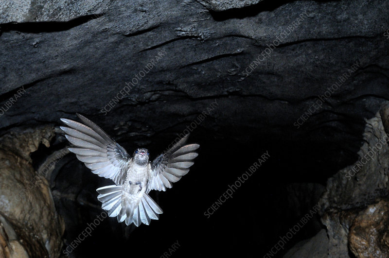 Mossy Swiftlet in Racer Cave