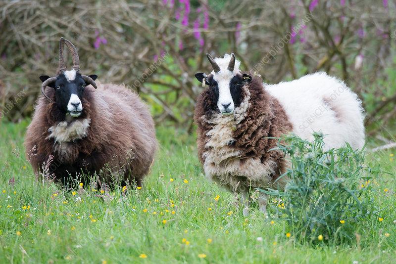 Jacob Sheep (Ovis aries)