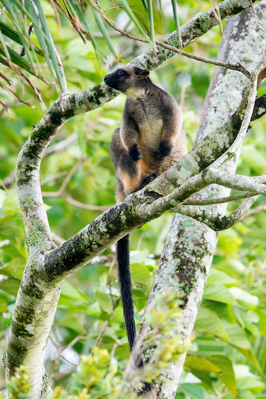 Lumholtz's Tree Kangaroo (D. lumholtzi)