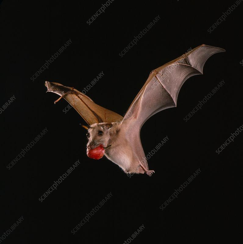 Little epauletted fruit bat (E. minor)
