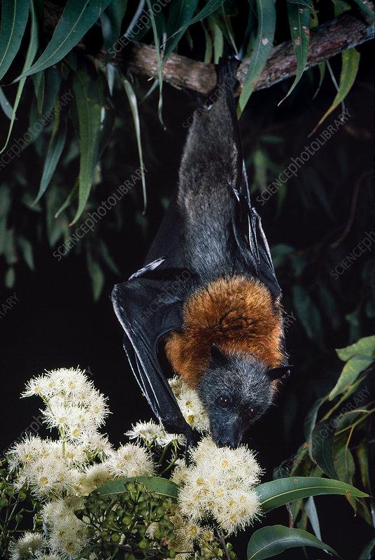 Grey-headed flying fox (. poliocephalus)