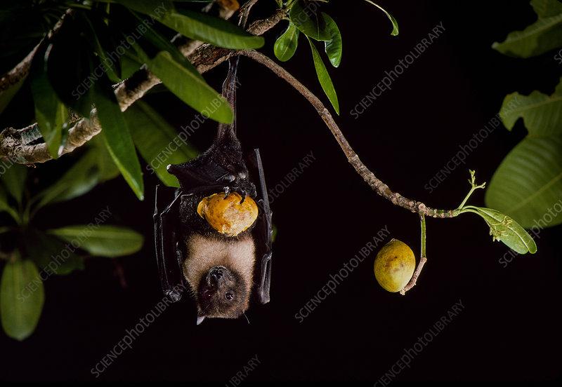 Marianas flying fox (Pteropus mariannus)