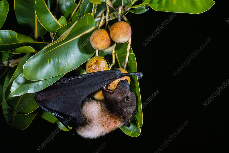 Marianas flying fox (P. mariannus) with fruit