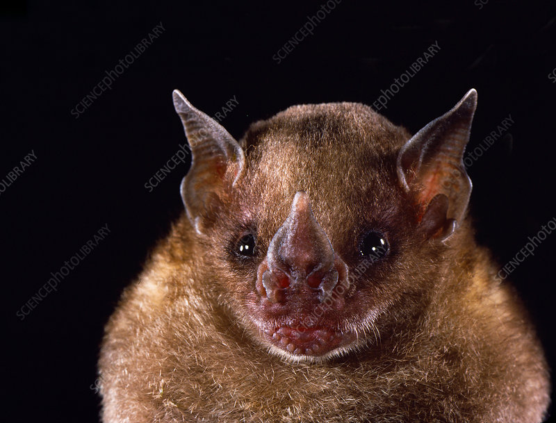 Little yellow-shouldered bat (S. lilium)