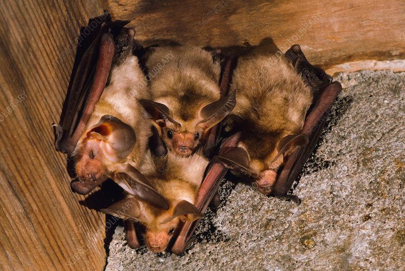 Pallid bats (Antrozous pallidus)
