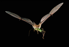 Pallid Bat (Antrozous pallidus) flying w prey