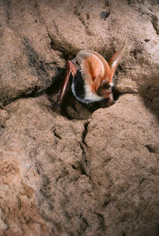 Spotted bat (Euderma maculatum)