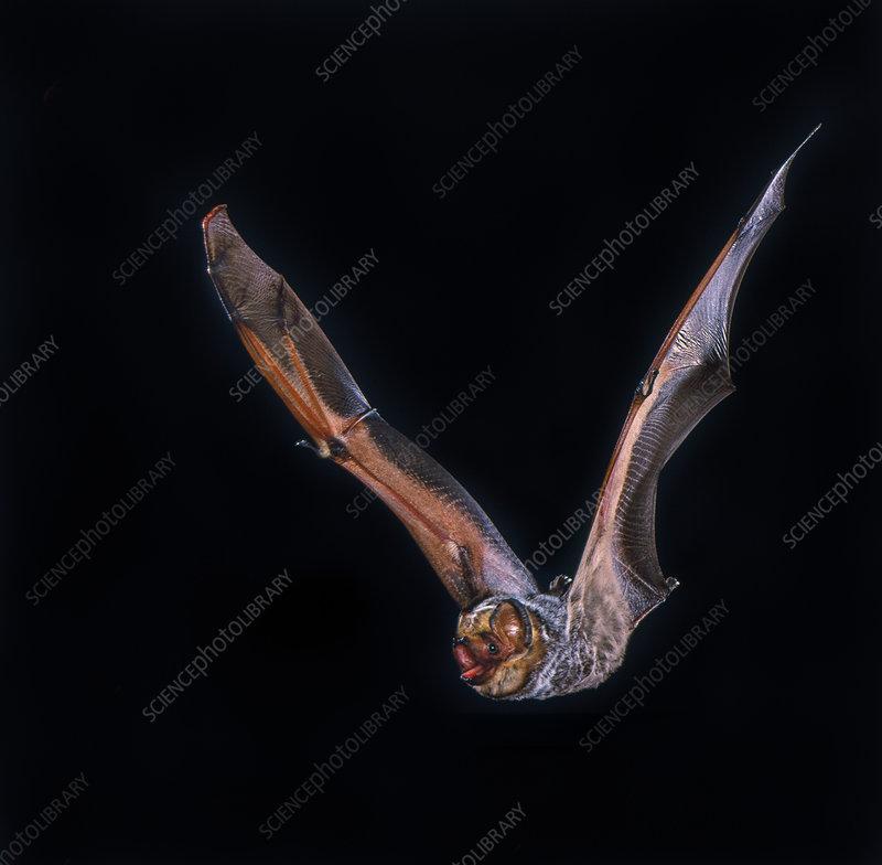Hoary bat (Lasiurus cinereus) in flight