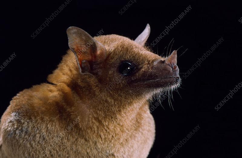 Lesser long-nosed bat (L. yerbabuenae)