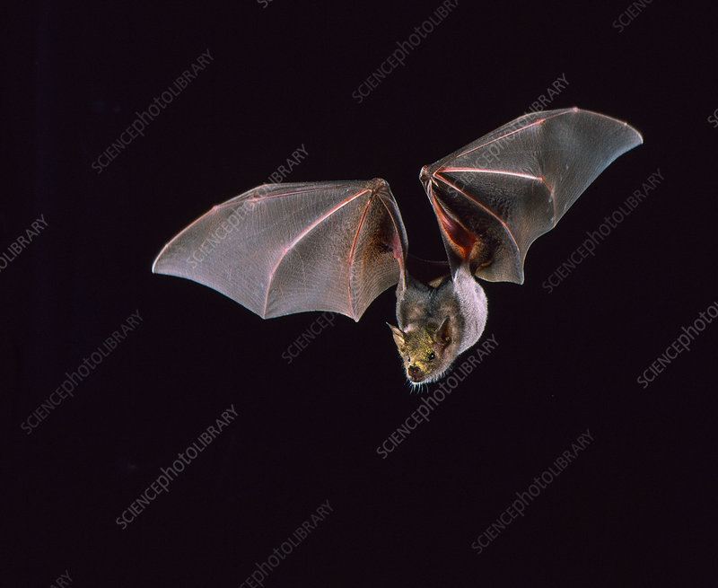 Lesser long-nosed bat (L. yerbabuenae)