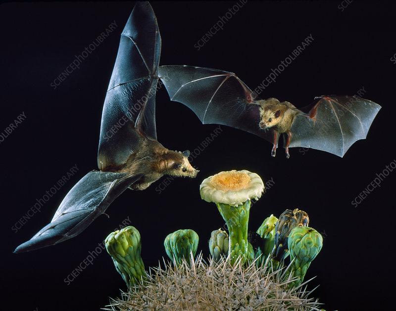 Lesser long-nosed bats at Saguaro Cactus