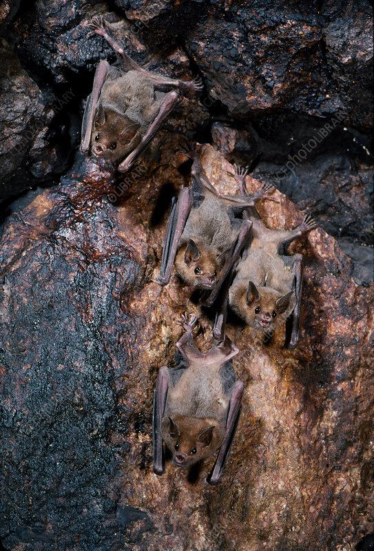 Lesser long-nosed bats on an artificial roost