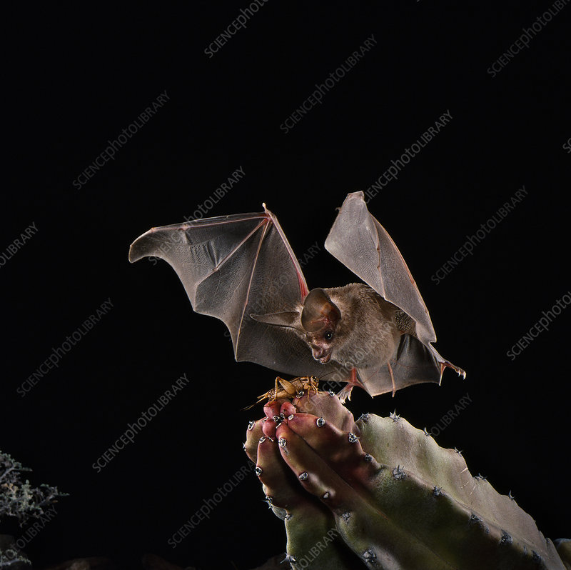 California leaf-nosed bat catches cricket