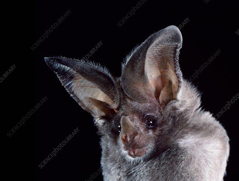 California leaf-nosed bat (M. californicus)