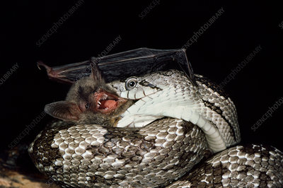 Southern myotis eaten by grey rat snake