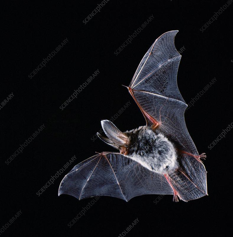 Rafinesque's big-eared bat (C. rafinesquii)