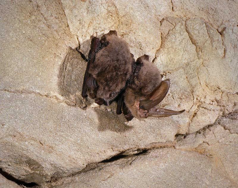 Virginia big-eared bats (C. t. virginianus)