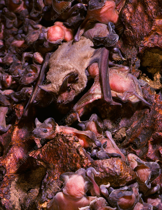 Brazilian free-tailed bat with young