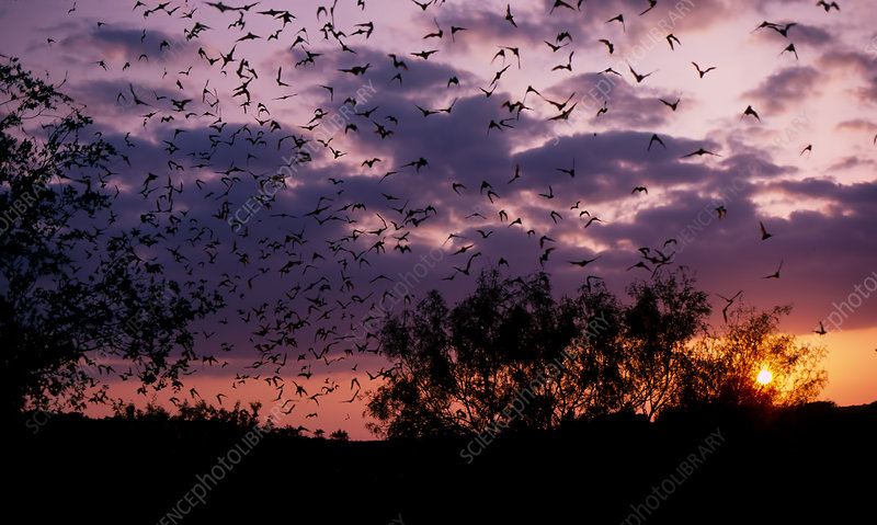 Brazilian free-tailed bats emerging at dusk