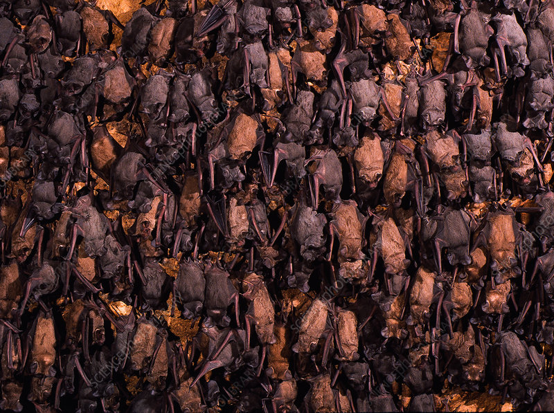 Brazilian free-tailed bats in Bracken Cave