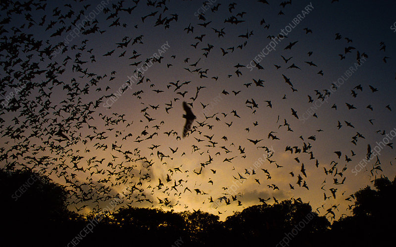 Brazilian free-tailed bat emerge from cave
